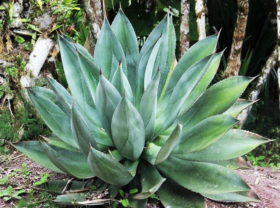 Aloe Vera for Hair Growth Tips